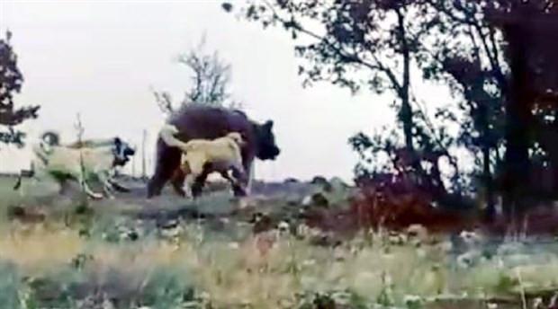 Sürüye saldıran ayıyı köpekler kovaladı,