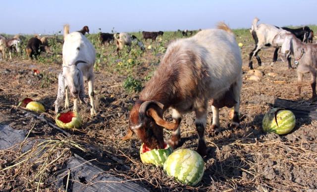 Kilosu 15 kuruşa düşünce keçilere yem oldu