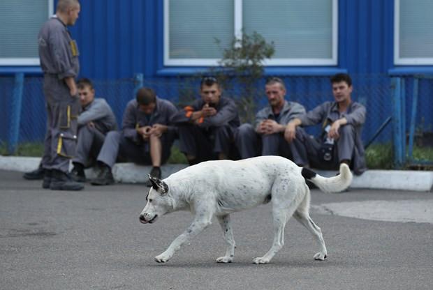 Çernobil'in sokak hayvanlarına ne oldu ? - Resim: 2