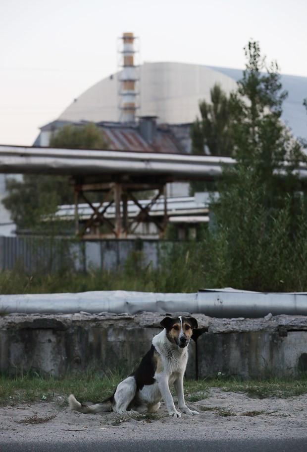 Çernobil'in sokak hayvanlarına ne oldu ? - Resim: 4