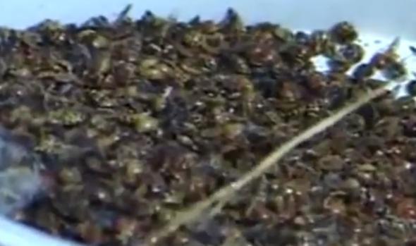 İngiltere'de uğur böceği istilası