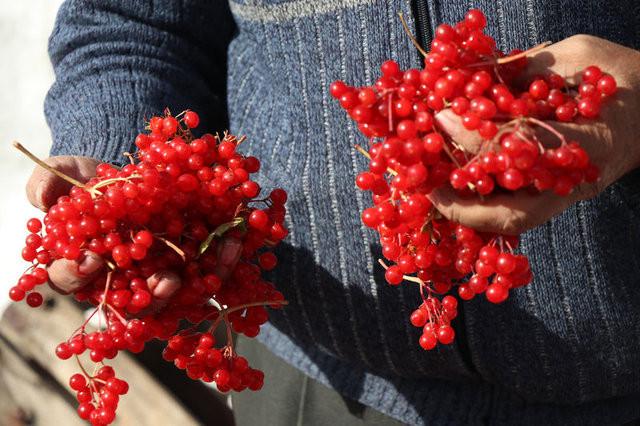İşte Gilaburu bitkisinin faydaları