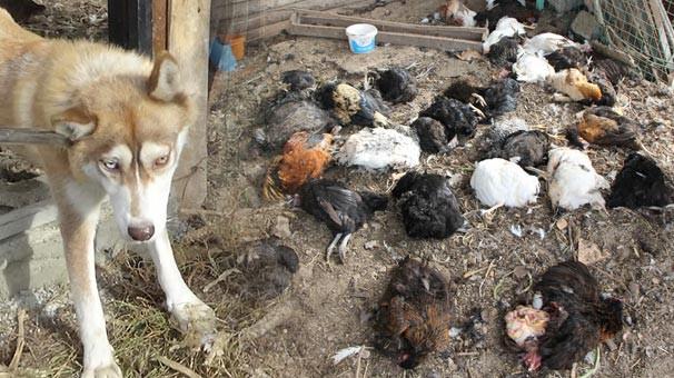 Kurt köpeği tavukları telef etti