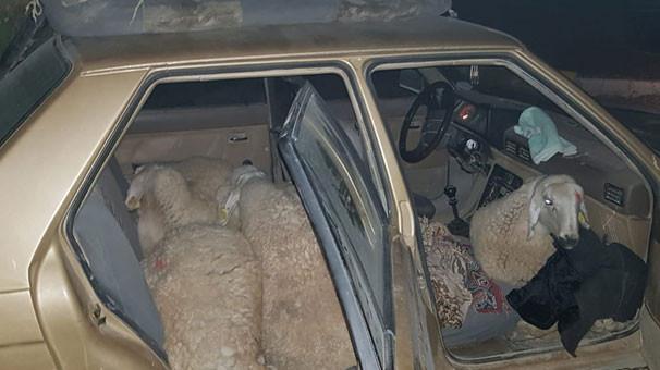 Günün bilmecesi Konya'dan: Bir araca kaç koyun sığar ?