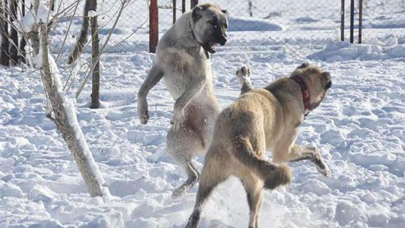 Kangallar kışla birlikte adeta yeniden doğuyor