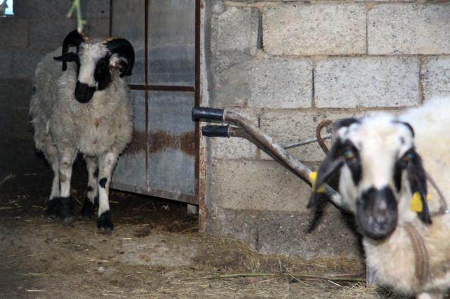 Antalya'da gizemli koyun katliamı ! Yine ortaya çıktı