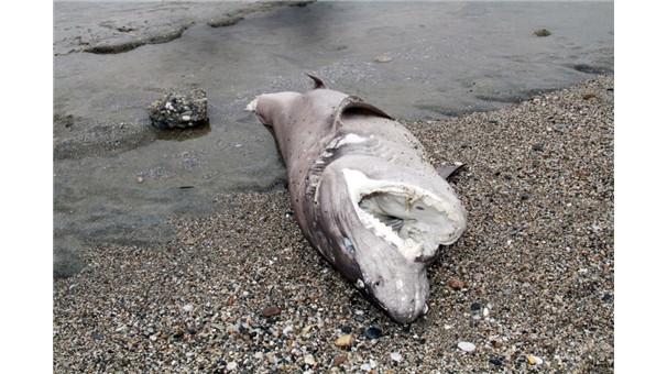 Köpek balığı kıyıya vurdu !