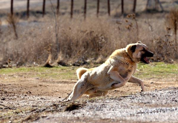 Kangal köpekler teröristlerin kabusu olacak