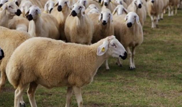 300 koyun projesine büyük talep ! Site çöktü...