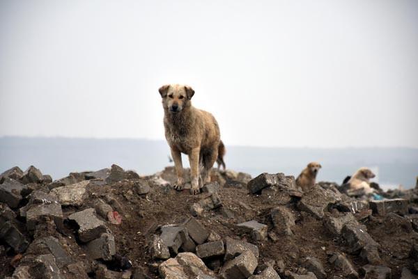 500 köpek ortadan kayboldu !
