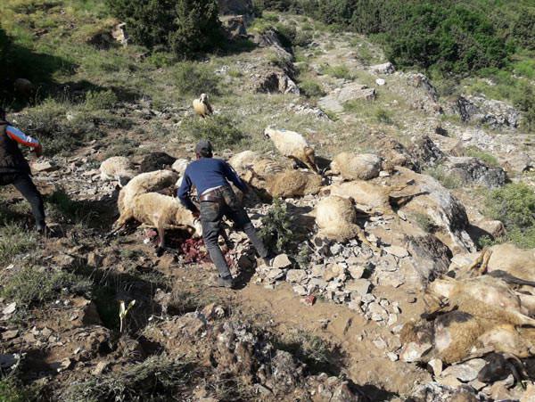 Uçurumdan atlayan koyunların sırrı