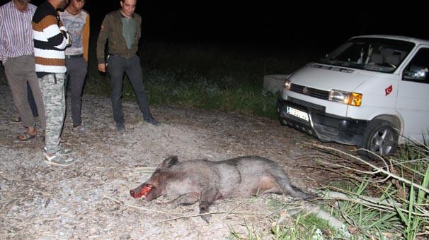 İki domuz arabayı bu hale getirdi