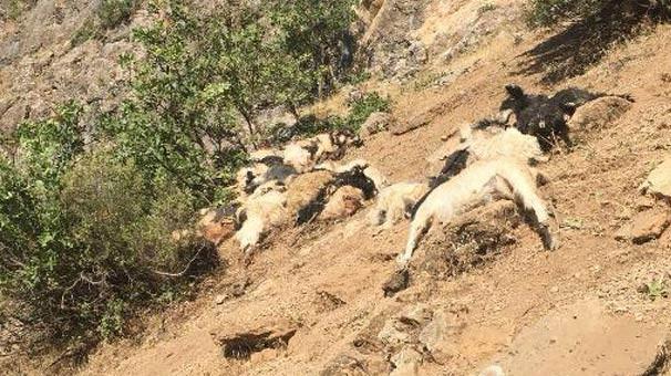 Kayalıklardan atlayan 200 koyun ve keçi telef oldu