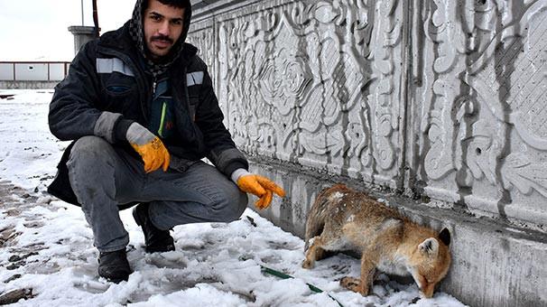 Sivas'ta tilki donmuş halde bulundu