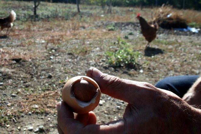 Yumurtanın içinden çıkan şoke etti