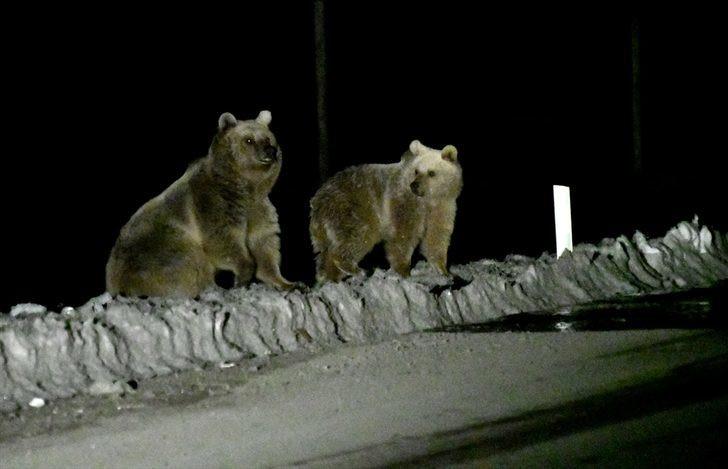 Kış uykusundan uyanan bozayılar çöplüğe gittiler