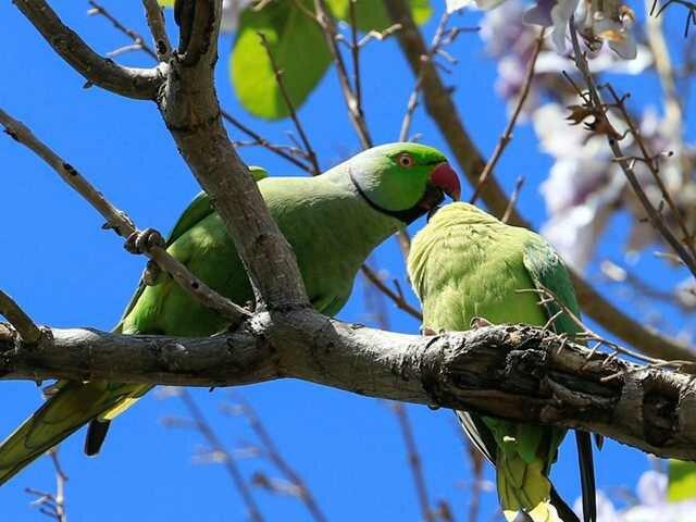 İzmir'in sevimli misafirleri: Yeşil papağanlar