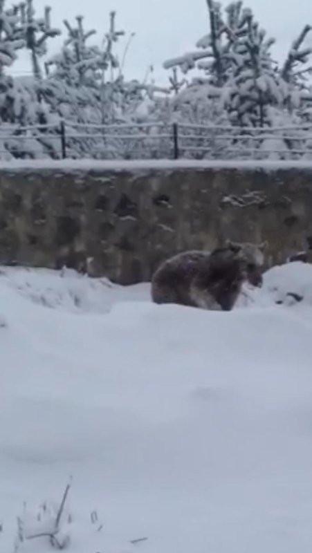 Kış geri döndü ayılar şehre indi