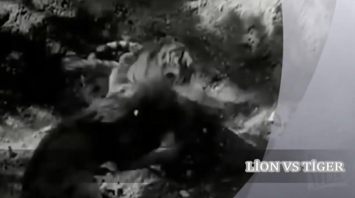 Aslan ve kaplanın karşılaşmasında feci son!