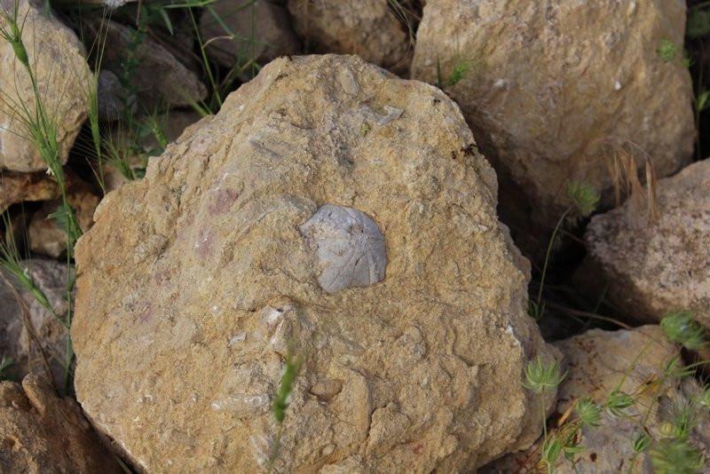 Adıyaman'da çoban 85 milyon yıllık denizkestanesi fosili buldu.