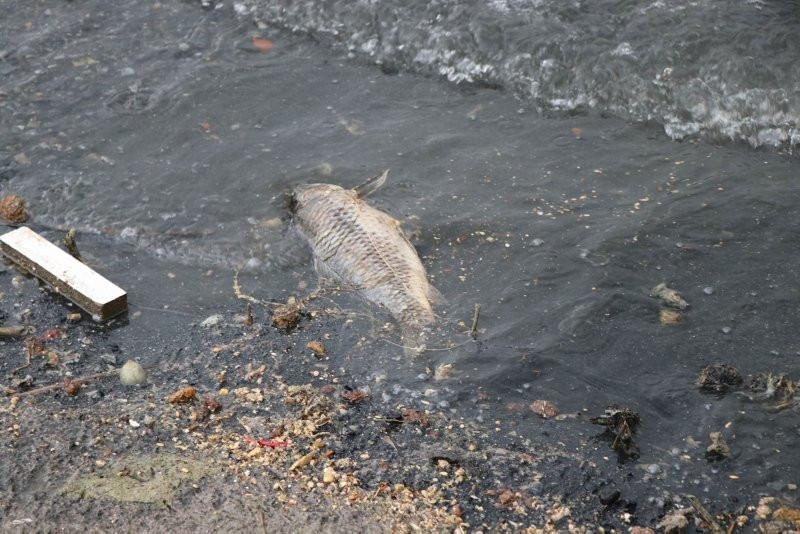 Baraj gölünde korkutan görüntü! Yüzlercesi kıyıya vurdu