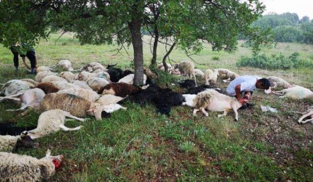 Yıldırım düştü: 55 koyun telef oldu