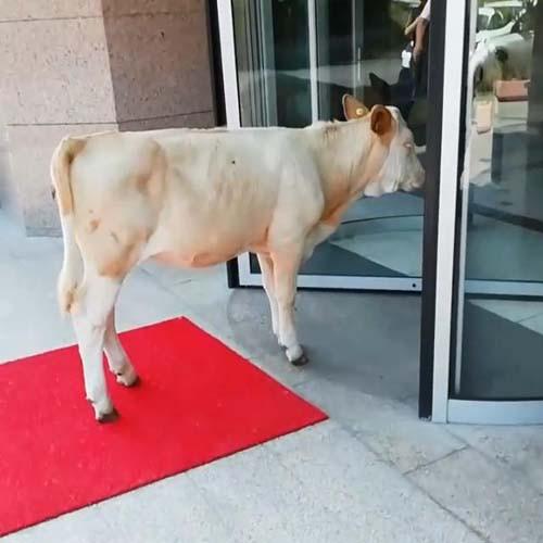 Kırmızı halıdaki inek görenleri şaşırttı