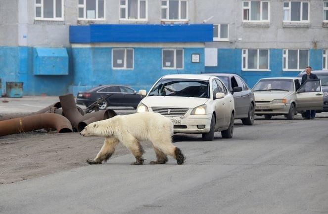 Sibirya'da aç kalan kutup ayısı şehre indi