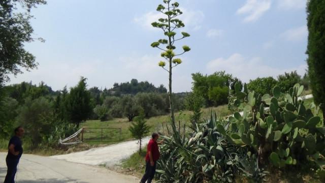 Burası Osmaniye... Yüzyıl bitkisi çiçek açtı