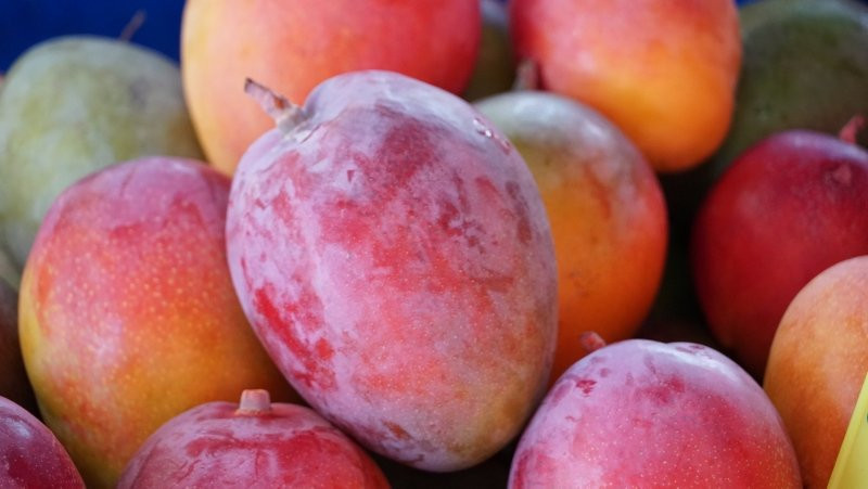 Türkiye'de ilk defa üretilen mangonun hasadı başladı