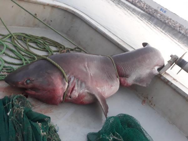 Balıkçıların ağına bir tonluk ''dev'' takıldı