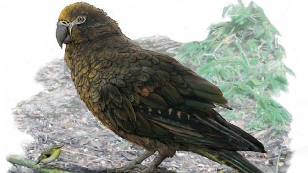 Dev papağan bulundu ! Bilim insanları ona ''Herkül'' adını koydu