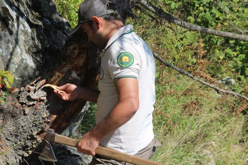 Doğu Karadeniz'i istila eden böceğe karşı biyolojik mücadele başla