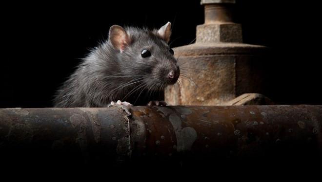 Bu sefer Çin'de değil! 50 kişi fareden bulaşan hastalığa yakalandı