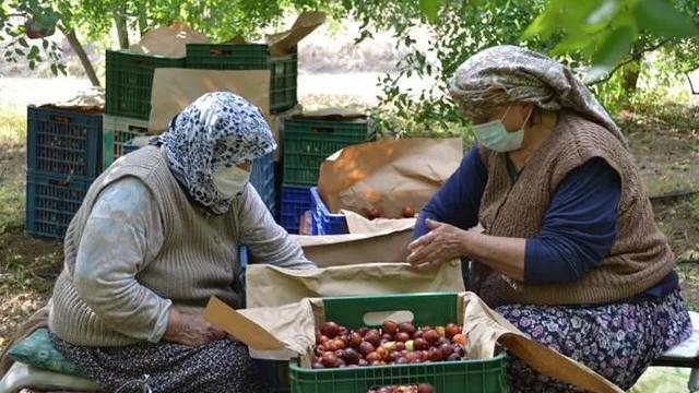 Hasadı devam eden hünnap meyvesinin kilosu 10 TL'den satılıyor