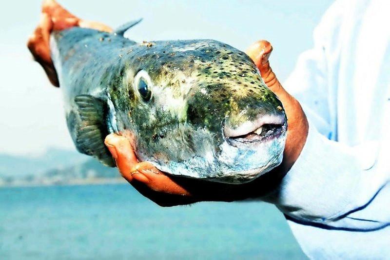 Siyanürden bile tehlikeli! Amatör balıkçı avladı