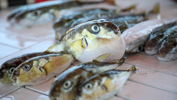 Vatandaşı tedirgin eden iddia: Balon balığını mezgit diye satıyorlar