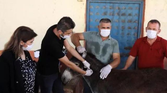 Türkiye'de ilk kez uygulandı! At ve eşeklere çip uygulaması