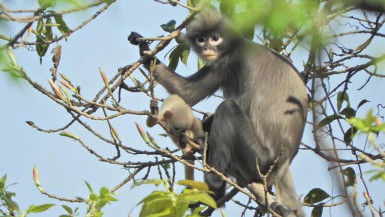 Yeni keşfedilen primat türünün nesli tehlikede