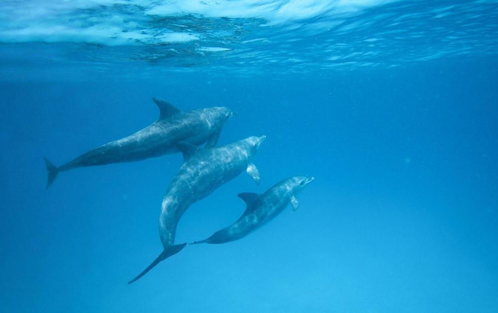 Yunus balıklarıyla ilgili çarpıcı keşif