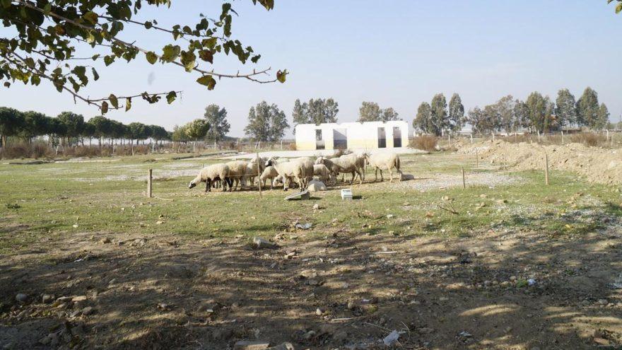 AK Parti'nin seçim vaadi koyunlara otlak oldu!