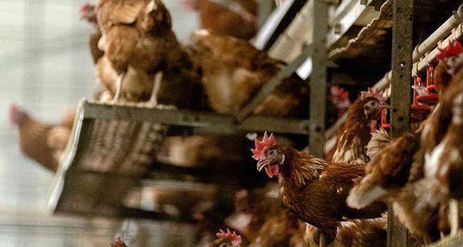 İngiltere'de kuş gribi salgını: 10 binden fazla canlı itlaf edilecek