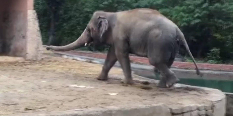 İşte dünyanın en yalnız fili ''Kaavan''