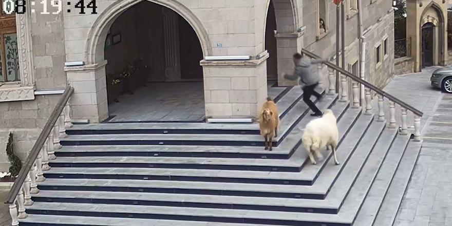 Koyunlar belediye binasını bastı!
