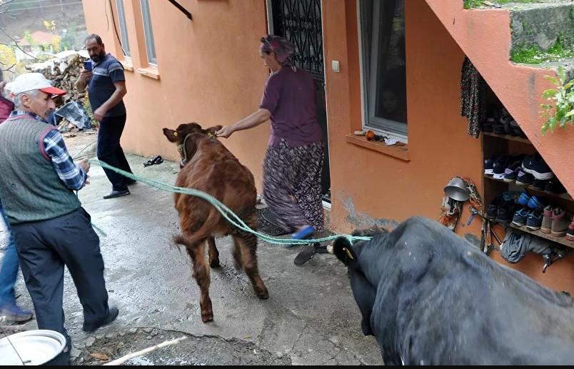 Haluk Levent, cinsel saldırıya uğrayan ineği ve buzağısını satın aldı