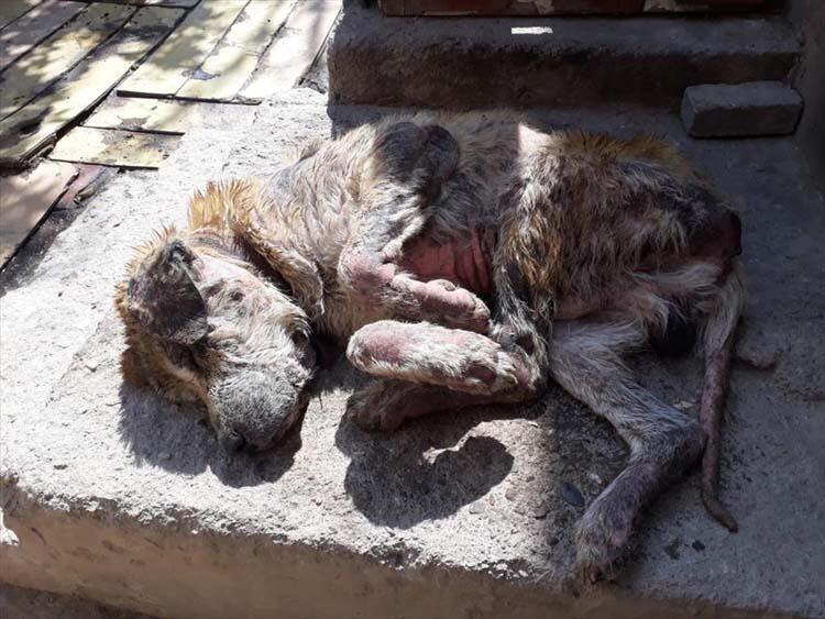 Günün iç ısıtan haberi: Perişan halde bulunan köpek sağlığına kavuştu
