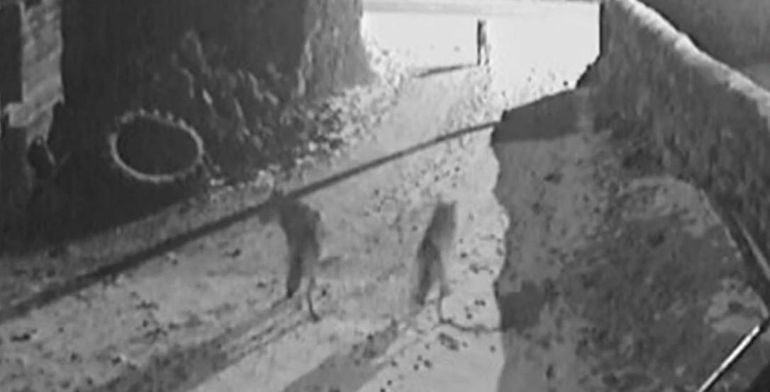 Köpeğe saldıran iki kurt neye uğradığını şaşırdı