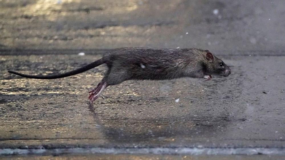 ABD'yi koronavirüsten sonra fareler de tehdit ediyor