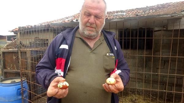 Maydanoz yiyen tavuğun yumurtaları şaşırttı