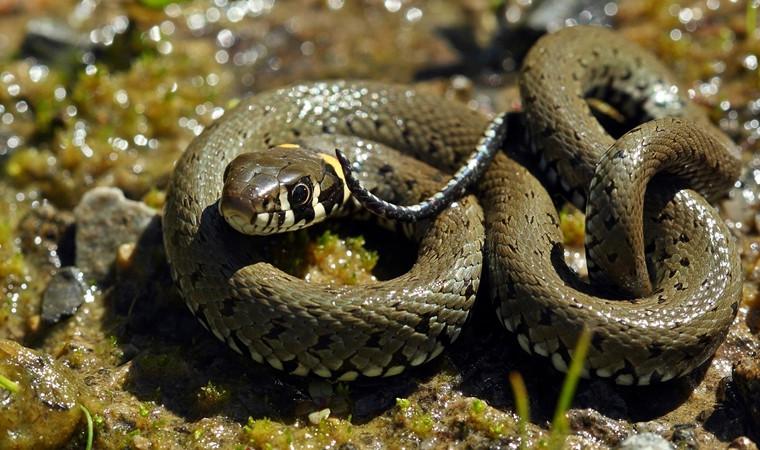 Sürü halindeki yılanlar hakkında açıklama geldi